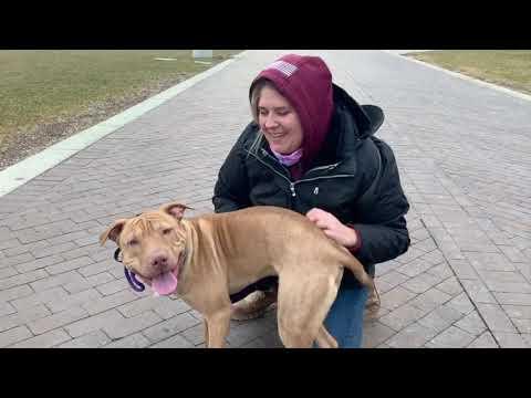 Best Dog Training Toledo, Ohio! 1 Yr Old Pit/Shar Pei Mix Deshi!