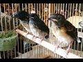 Cara Membedakan Jenis Kelamin Anakan Burung Murai Batu Secara Lengkap  Mp3 - Mp4 Download