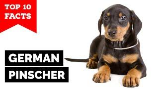German Pinscher  Top 10 Facts