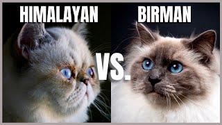 Himalayan Cat VS. Birman Cat
