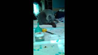 Первые роды у шотландской кошки, как понять что они начинаются