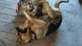 Жёсткие игры с немецкой овчаркой - собакой