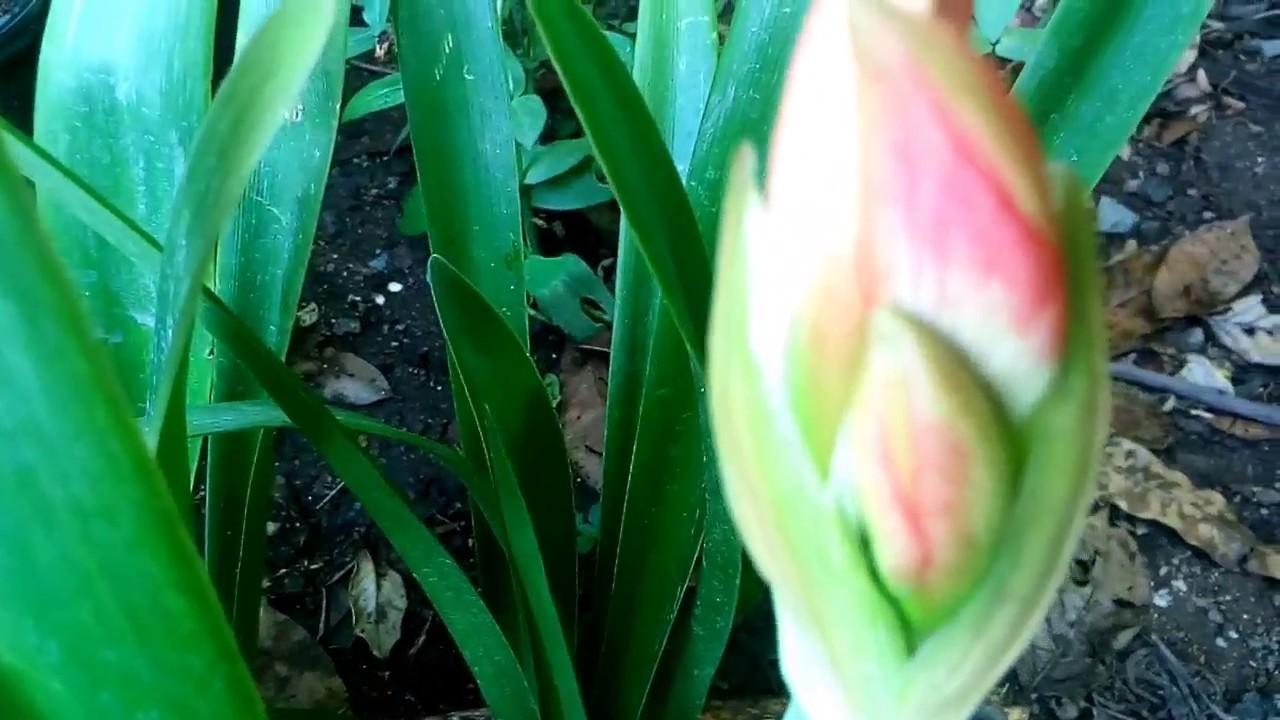 Amarillis plantas de bulbos con flor youtube for Plantas para veredas con flores