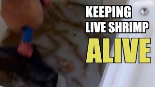 FISHING TIP: Use Fresh Live Shrimp thumbnail