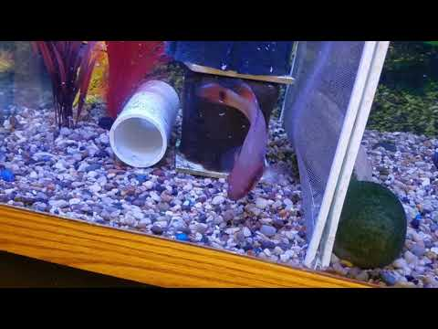 Super red monkey and crenicichla red pike cichlid | FunnyDog TV