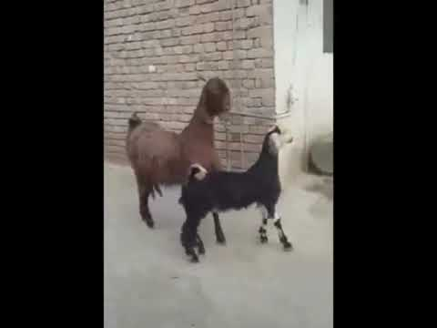 Morgen - Goats are Stayin' Alive Stayin' Alive...