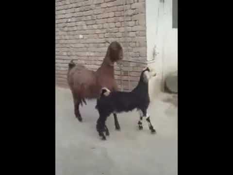 Aaron - Goats Struttin' To Stayin' Alive