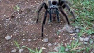 Aranha Gigante ( Big spider ) Brasil