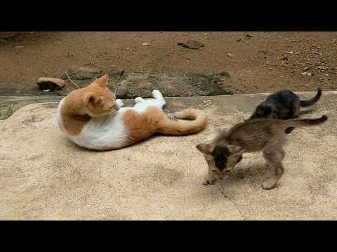 Cute kittens playing with mom cat