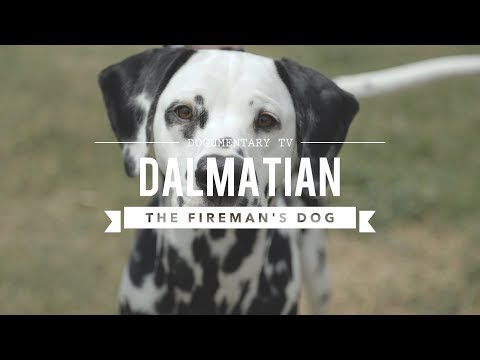 all-about-dalmatians:-the-firehouse-dog