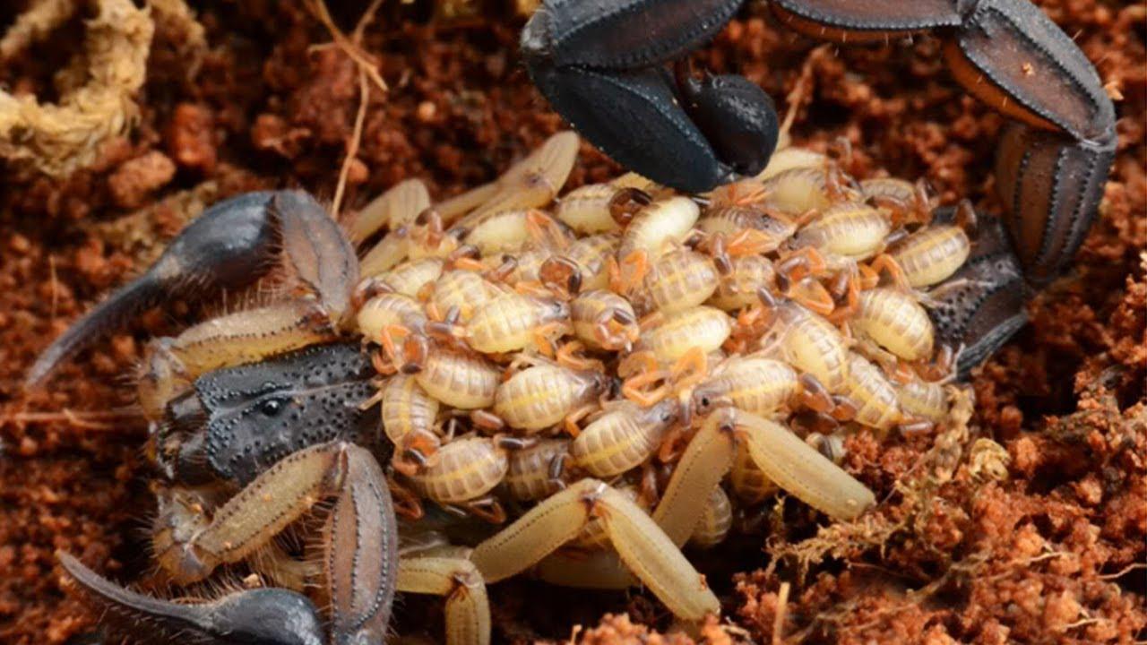 How Scorpion giving birth?
