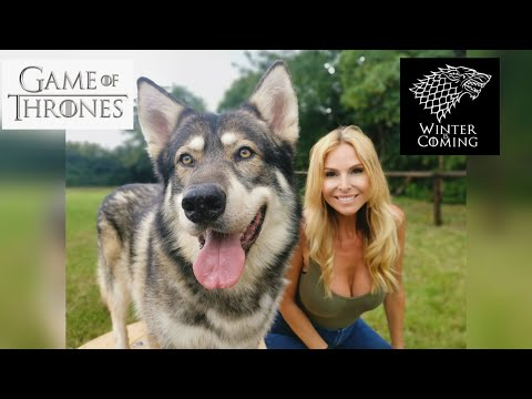 THE NORTHERN INUIT - THE WOLF LOOKALIKE - Game Of Thrones Direwolf