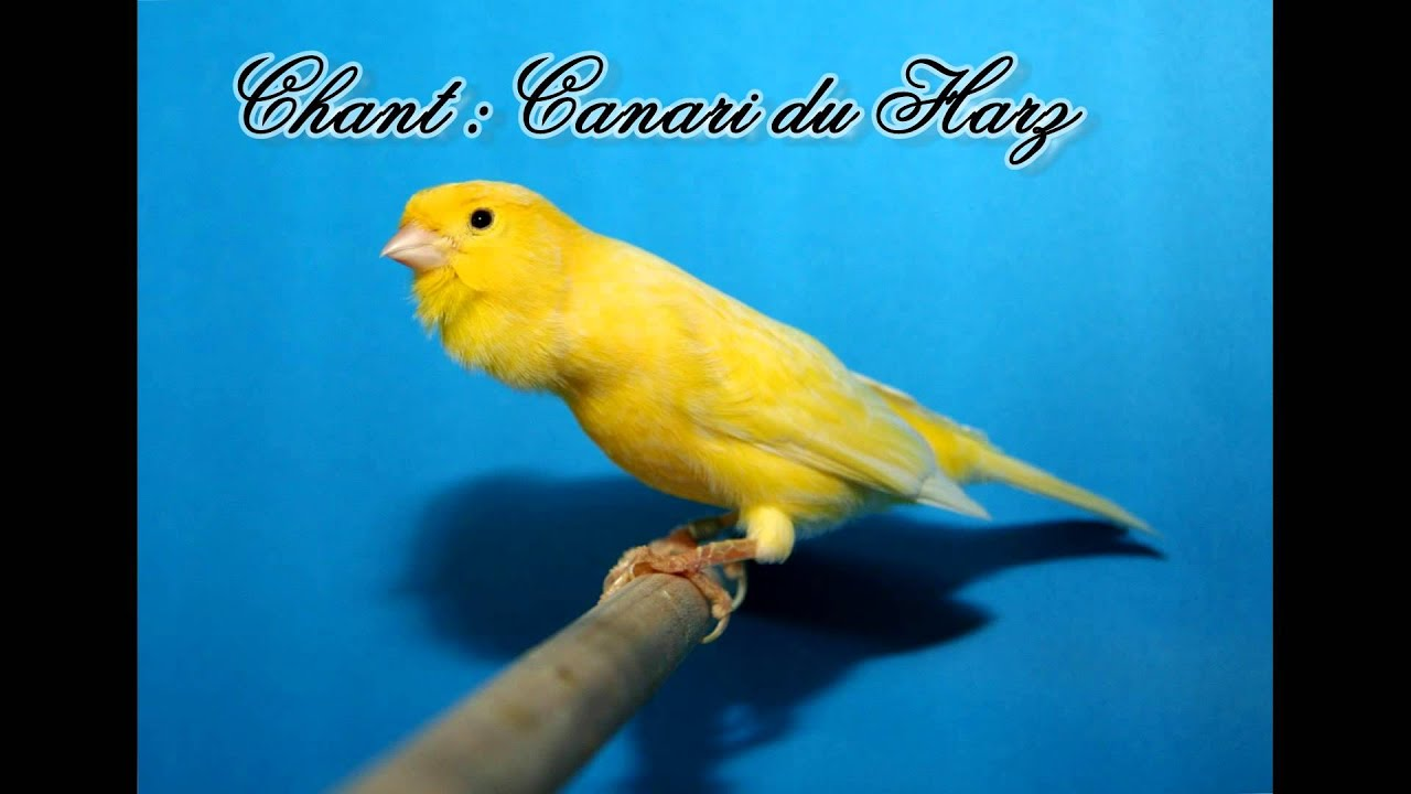cd chant de canaris harz