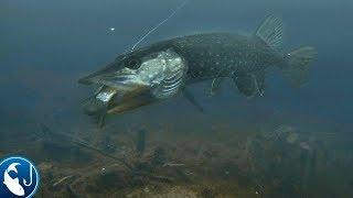 Щука атакует карася под водой 3 раза. Подводная съёмка зимой