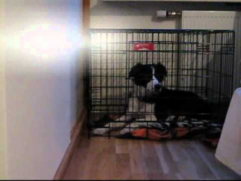 Paws The Border Collie Escapes From Her Crate  YouTube
