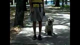 Beau The Lab | Redeeming Dogs | Dallas Dog Training
