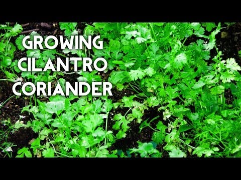 How to grow Cilantro or Coriander or Chinese Parsley