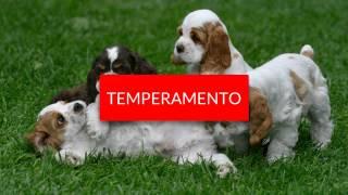 Raza De Perros  Cocker Spaniel