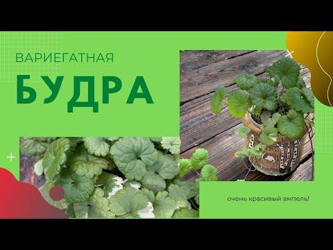 Вопрос: Трициртис, что за растение?