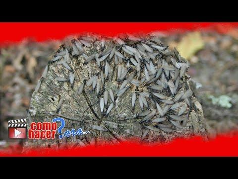 Cmo Eliminar las Termitas