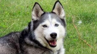 Furminator Siberian Husky Blowing Their Coat!