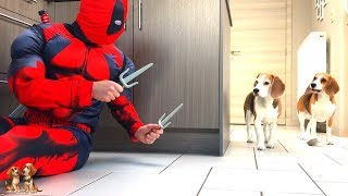 Dogs vs Deadpool Prank : Funny Dogs Louie & Marie The Beagles