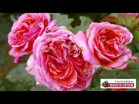 Лучшие сорта чайно-гибридных роз