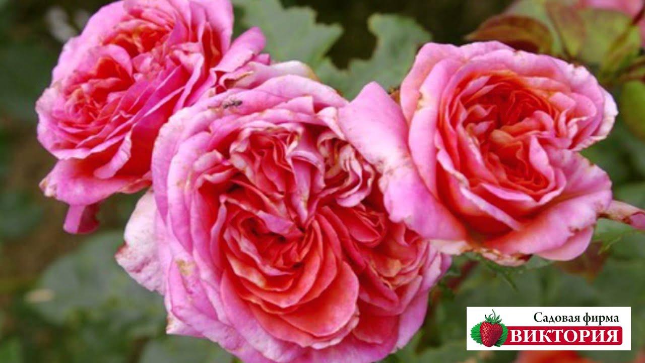 розы сиреневые сорта фото