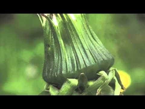 Life cycle of a dandelion - YouTube