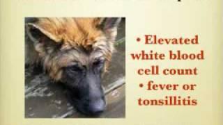 Panosteitis in the German Shepherd Dog - Panosteitis - Pano
