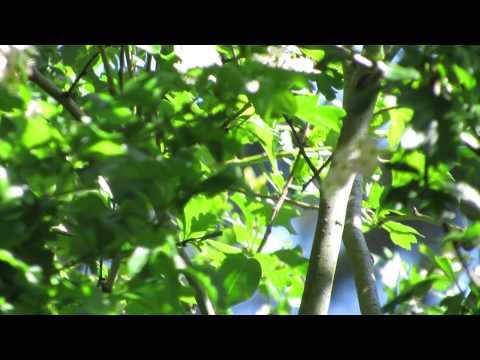 Wilson's Warbler Song
