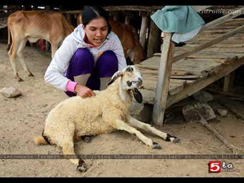 Vietnamese farmers fear of losing thousands of dollars as drought kills sheep en masse