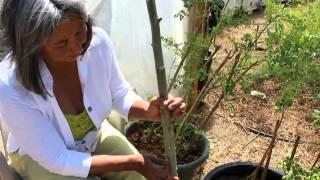 How to Grow Moringa Using Cuttings thumbnail