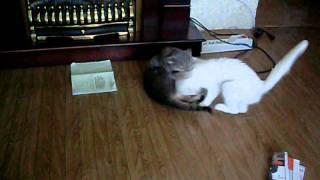 Кошачья драка: Пушинка vs Пельмешка. Раунд №2.