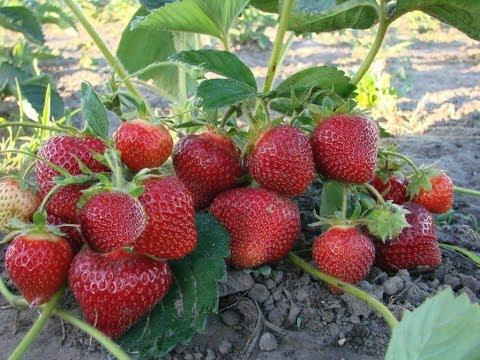 Клубника для начинающих. Секреты выращивания | садоводство | выращивания | выращивание | поливкина | вырастить | клубнику | клубники | клубника | вероника | секреты