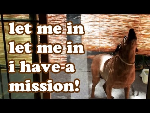 Funny Cute Dog Video – Rhodesian Ridgeback Mixed Breed – Dogs Animals Videos – by DogsCircle Jazevox