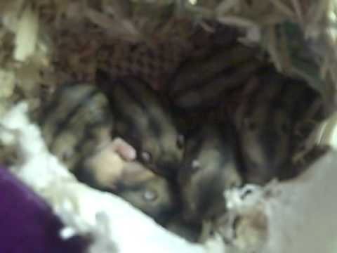 fattys winter white dwarf hamster babies 12 days old