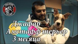 Обучение щенка в 3 месяца. Вводный урок по дрессировке собак.