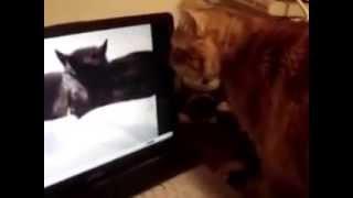 Кот смотрит видео с кошками Cat watching a video with talking cats