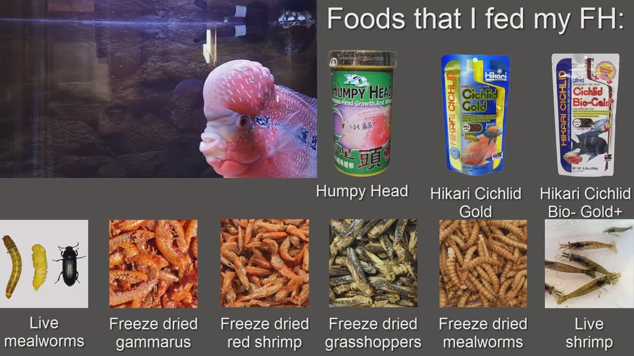 Flowerhorn Foods List - YouTube