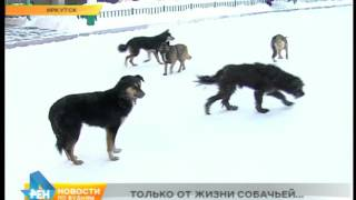 Иркутск в ожидании начала отлова бездомных собак