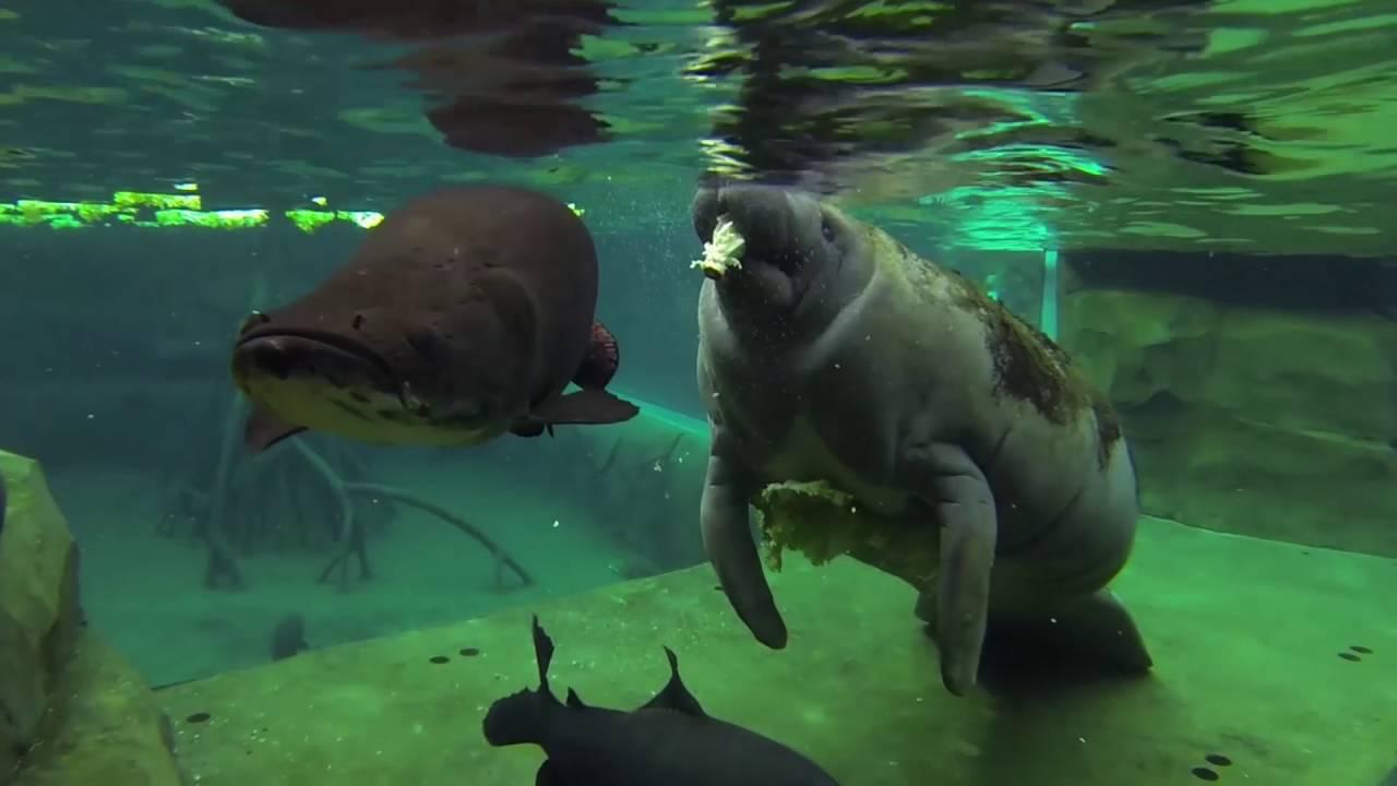 Nourrissage du lamantin du Parc zoologique de Paris - YouTube