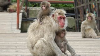 【SNOW MONKEY】 Mother Raise Two Babies 3 地獄谷野猿公苑