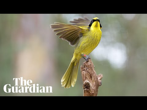 With a little help from its relatives: hybrid plan to save helmeted honeyeater from extinction