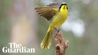 Hybrid helmeted honeyeater introduced to save bird from extinction