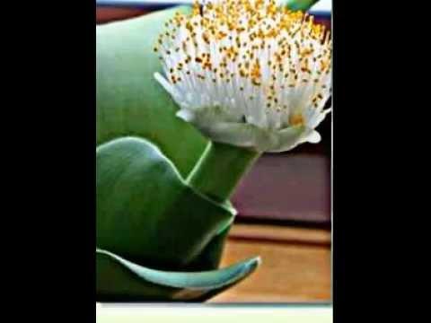 Etwas Neues genug Haemanthus, Blutblumen - YouTube @AA_97