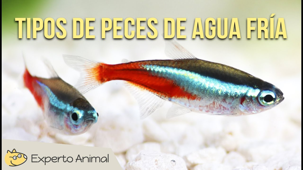 Tipos de peces de agua fr a youtube for Peces pequenos para estanques de agua fria