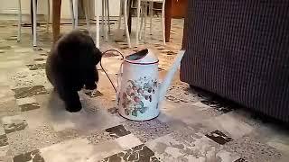 Щенок чау чау