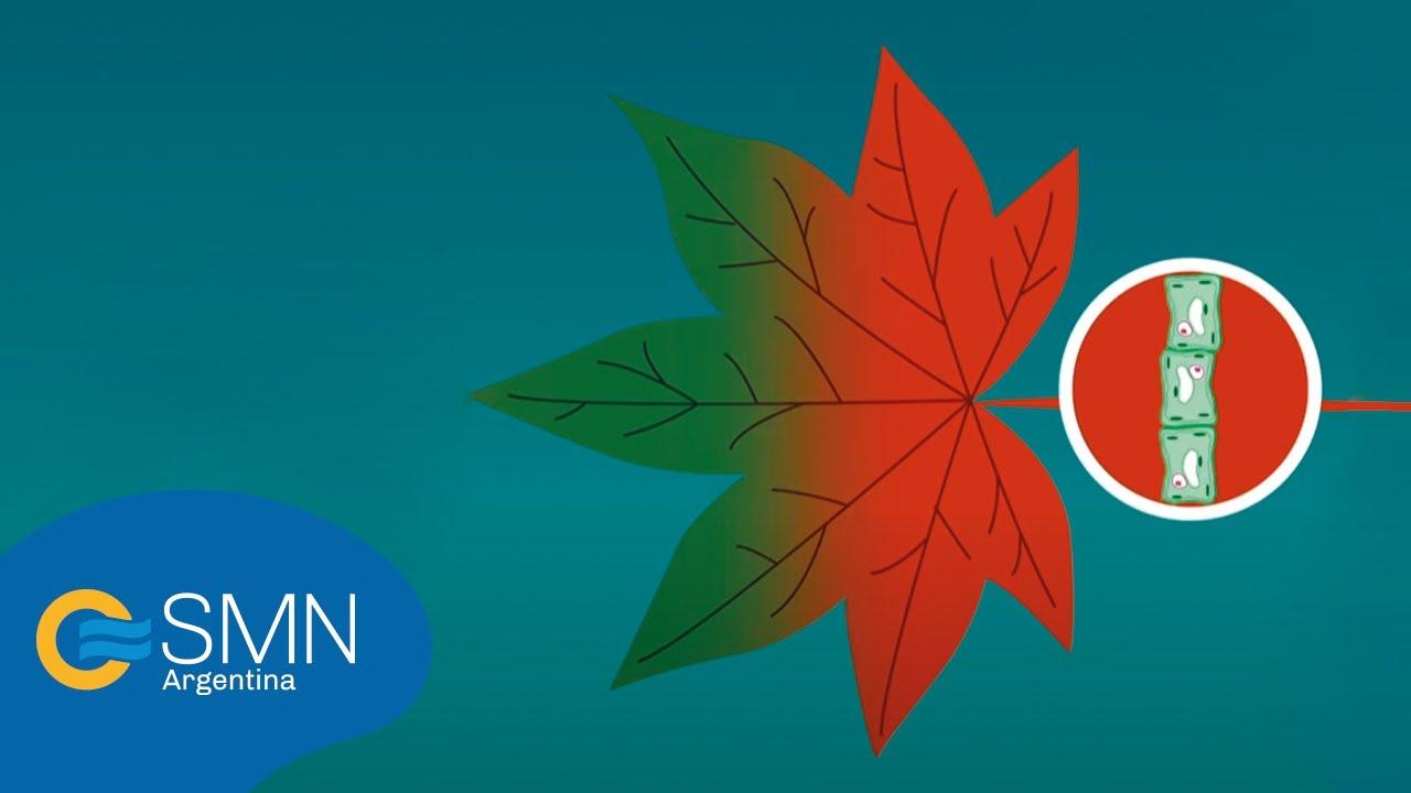 OTOÑO, ¿Por qué se caen las hojas de los árboles? - YouTube