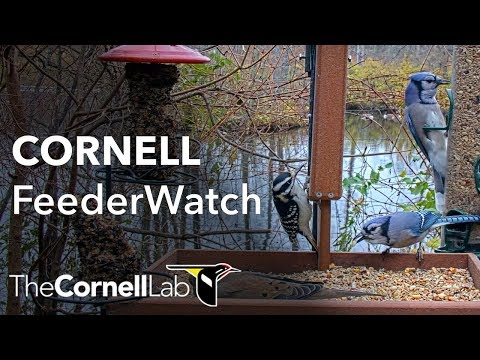Live Birds In 4K! Cornell Lab FeederWatch Cam at Sapsucker Woods